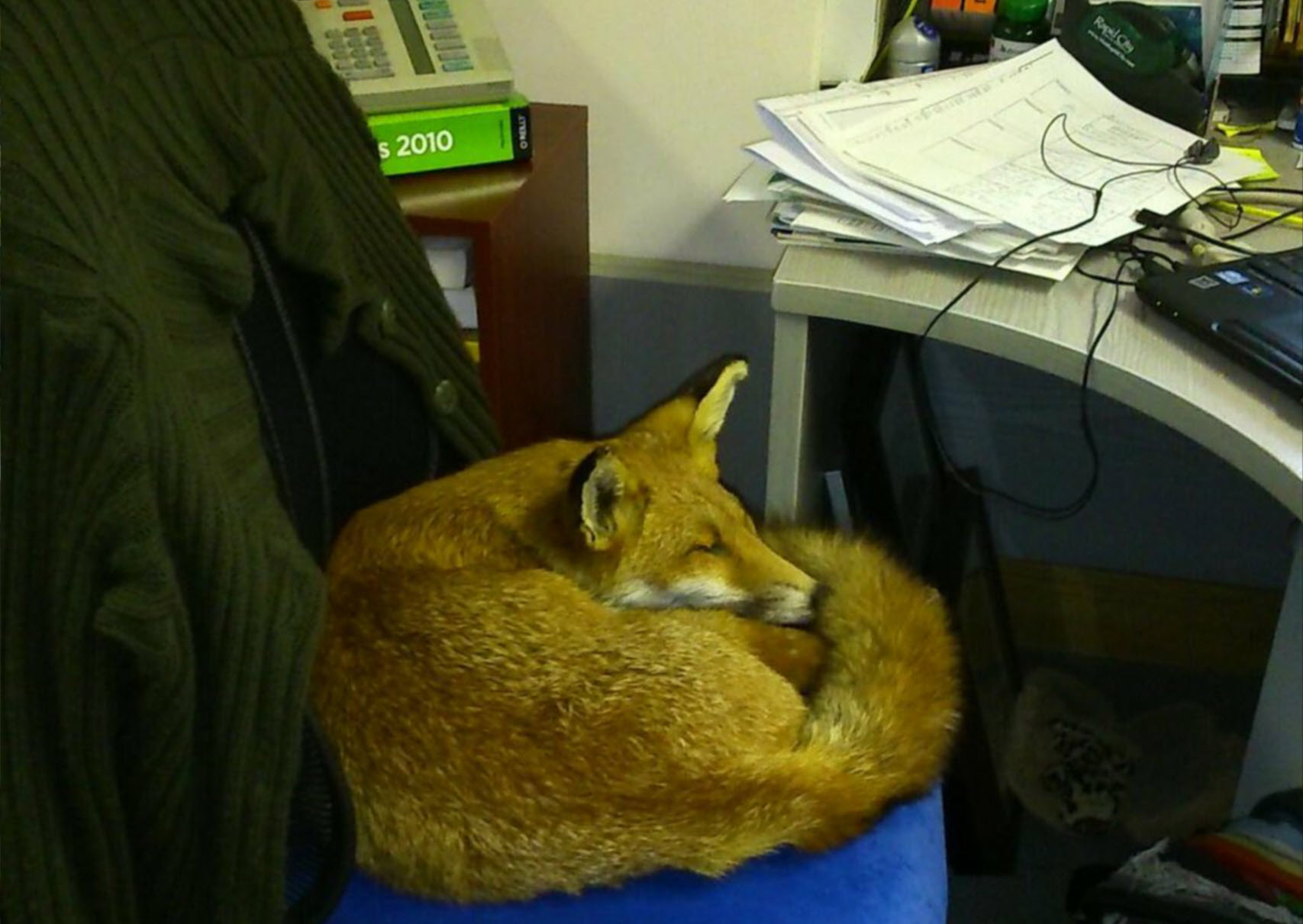 A fox snoozing in a chair in the GCER office. Don't worry, it's a stuffed fox!