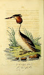 Great Crested Grebe - from the Biodiversity Heritage Library collection