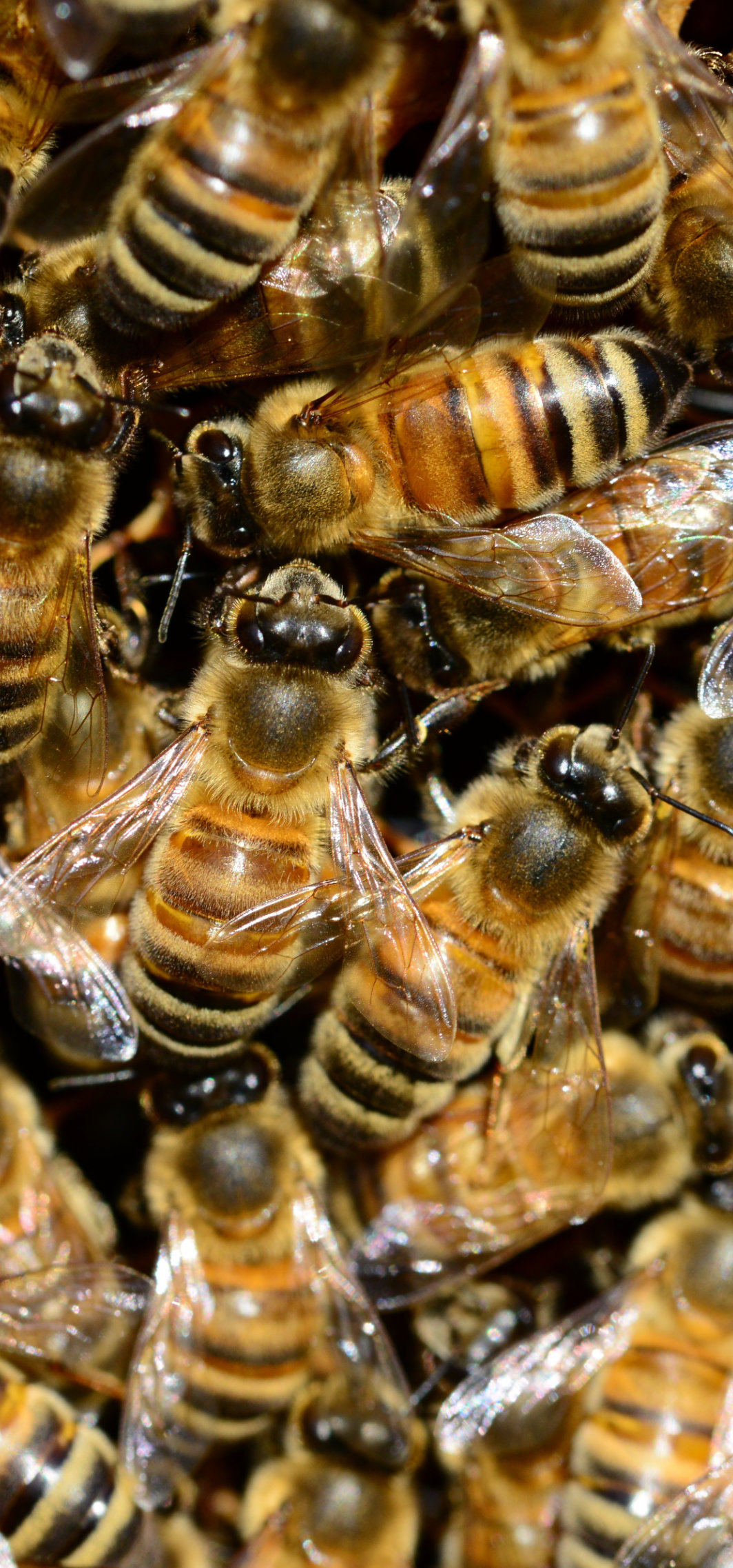 closeup of lots of brown and black striped honeybees
